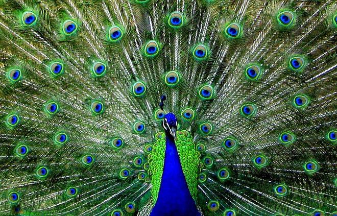 Wedding Symbolism The Peacock Sharon Naylor Wedding Books